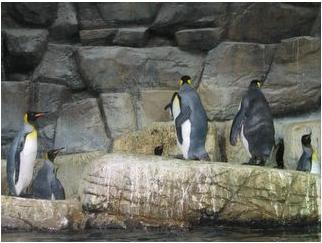 八景島的企鵝