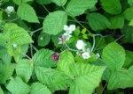 疑似野莓連花