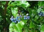 生於葡萄園附近的野莓,起初誤以為是葡萄,試了一口,又酸又苦澀。