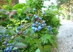 野莓,攝於羅馬營地。