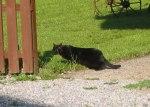 奧地利黑貓