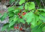 生於德國St. Goar的櫻桃,雖然細粒,但不酸。