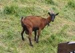 草羊,琉德本納。