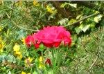 紅玫瑰,St. Goar。
