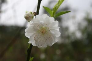 apricot-flower