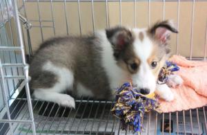 Lassie Play