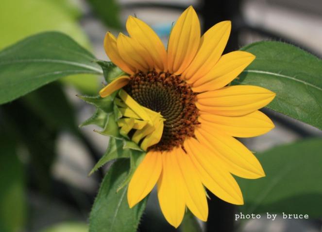 sunflower copy