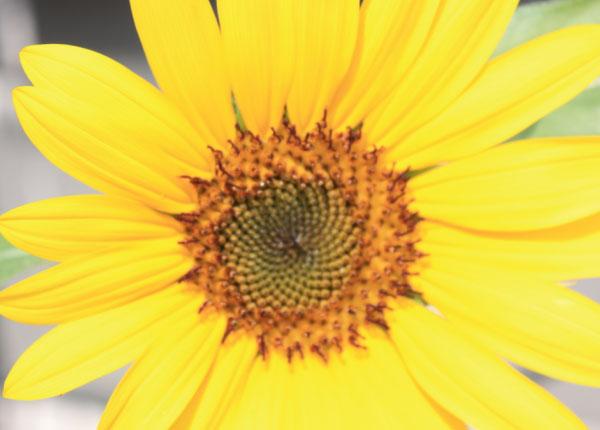 sunflower full