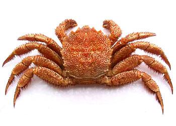 Horsehair crab